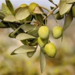 Científicos idean método para producir combustible a partir de residuos de oliva