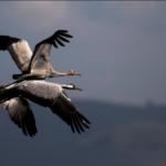 Vuelo retrasado: la migración invernal de grullas llega tarde a Israel